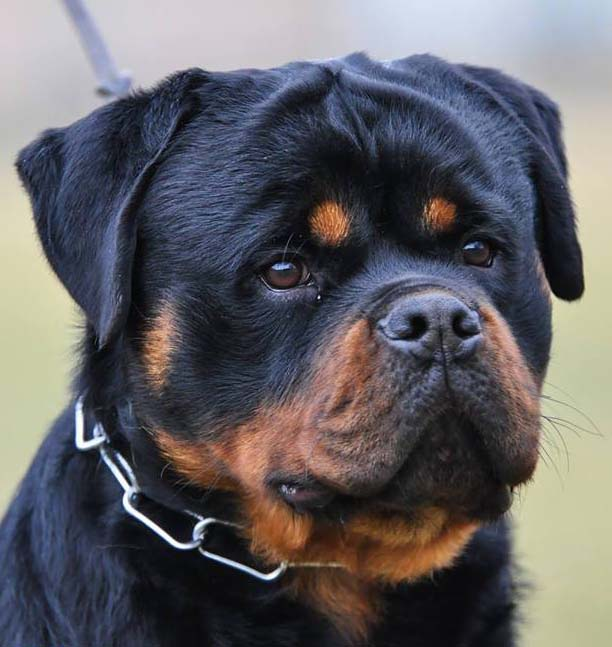 Rottweiler Puppies For Sale German Rottweilers Rottweiler Breeder Ny